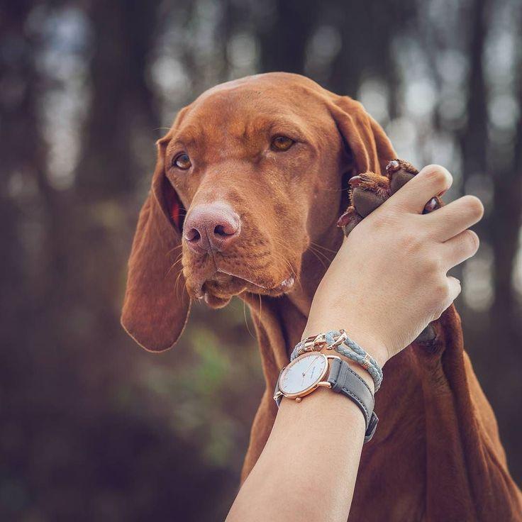 Resultado de imagen para vizsla dog, social with the people