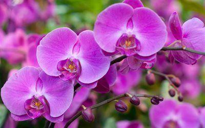 Scarica sfondi fiori tropicali, bellissimi fiori, orchidee, rosa orchidea