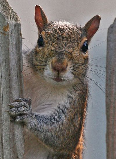 proust73:  Squirrel is watching me (close up) (by  klocean)