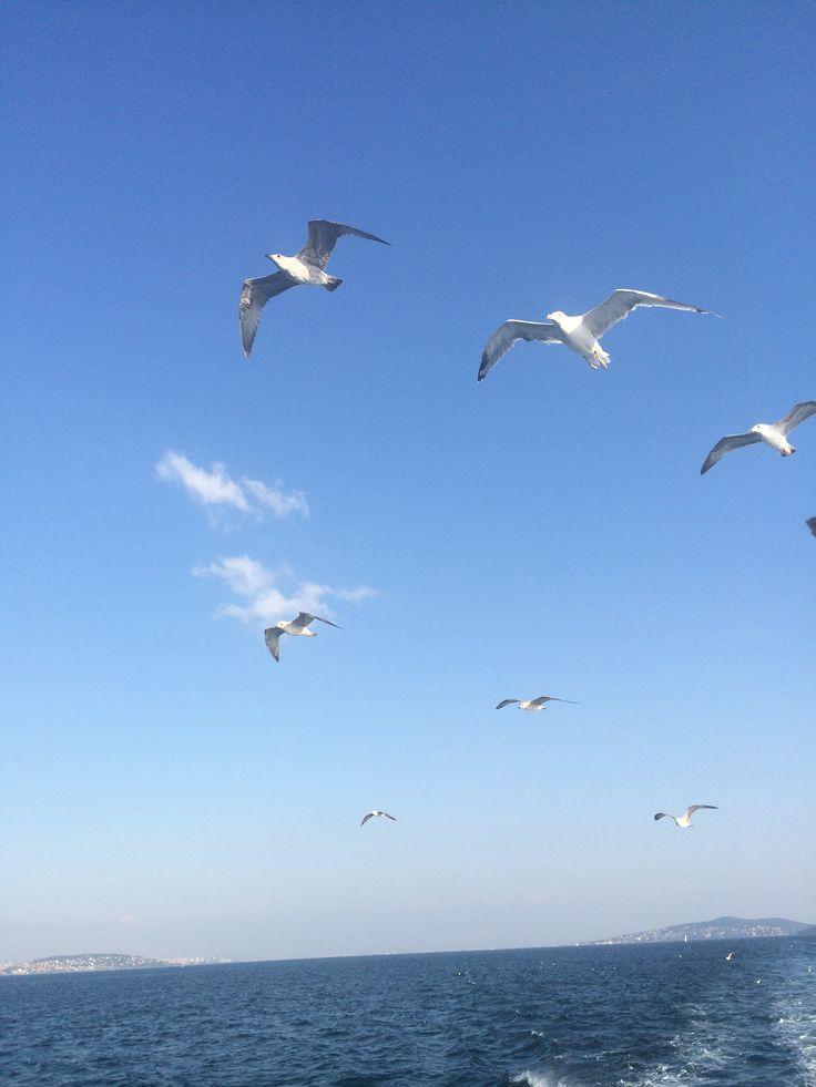 Seagulls of İstanbul