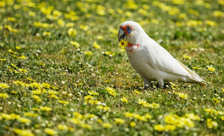 The Long-billed Corella is a cockatoo native to Australia