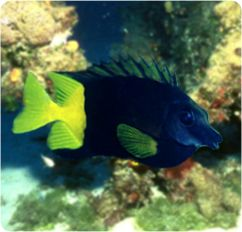 Bicolor Foxface Rabbitfish, Uspi Spinefoot - Siganus (Lo) uspi