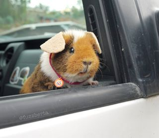 LOOK AT HER GO.   This Fuzzy Guinea Pig's Instagram Is All You'll Ever Need