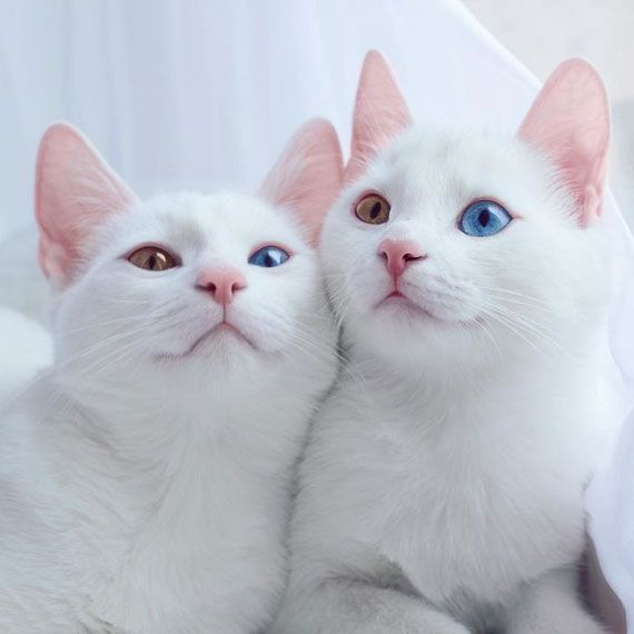 神々しいほど美しい。神秘的な眼を持つ双子のオッドアイ白猫 | ADB