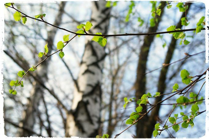 Spring poetry. #poetry #freeimages #freepictures #freephotos #haiku #spring #birchtrees #birchtree