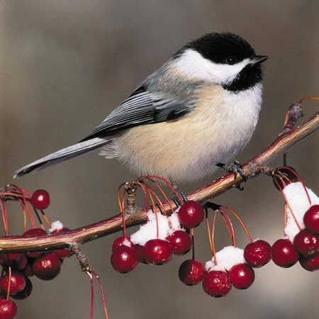 chickadee (one of my favorite birds, like their neat black caps and little plump bodies, sweeties.)