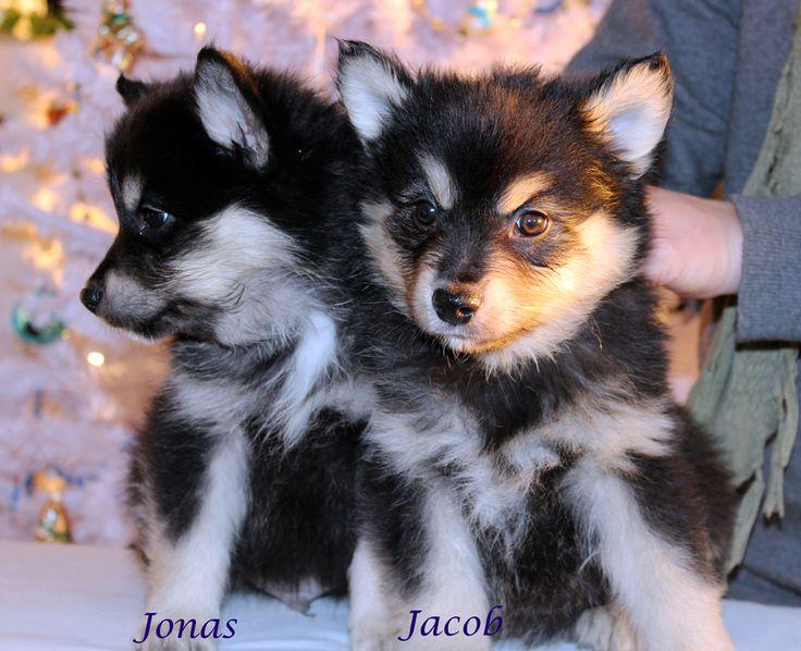 Finsk Lapphund Kvaalsfeltet Kennel Animal Kingdom