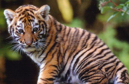Zoo-Postcard-Tiger-Postcard-5