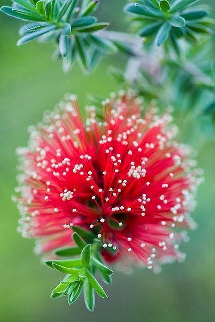 Bottlebrush Kunzea
