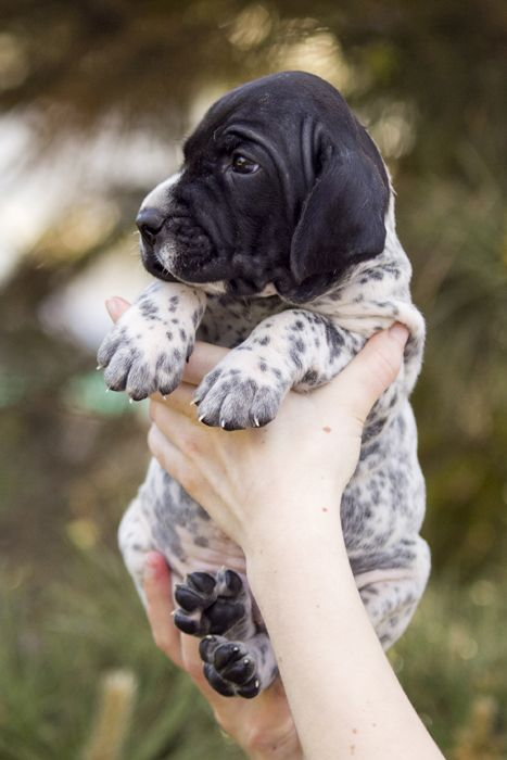 Sweet English Pointer... those little puppy wrinkles!