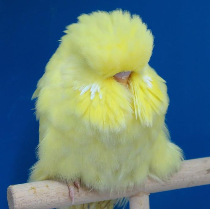 how to train a baby budgie