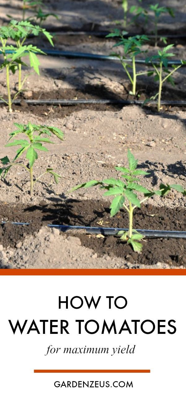 How to water tomatoes for maximum yield #watering #tomatoes #springplanting #gardening