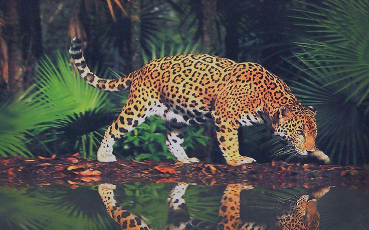 Фотографии Ягуары Большие кошки Животные