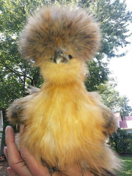 Little Miss Muffet!  My Partridge Silkie Pullet!