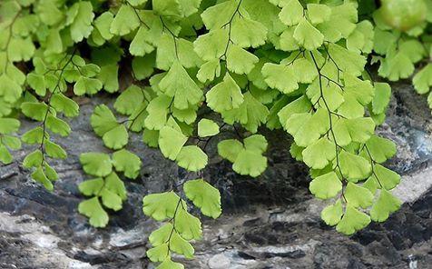 Nell'anno del sesto senso. Lei è capelvenere (Adiantum capillus-veneris), elegante e tenera felce, rara nel territorio comense (ma l'abbiamo Vista!), che ama l'ombra e cresce solo sui muri stillicidiosi.  La flora murale delle città è un mondo vitale per la conservazione della biodiversità! #Orticolario2016 #sestosenso #ilrisveglio #nature #city #garden #Como #PietroTestori #capelvenere