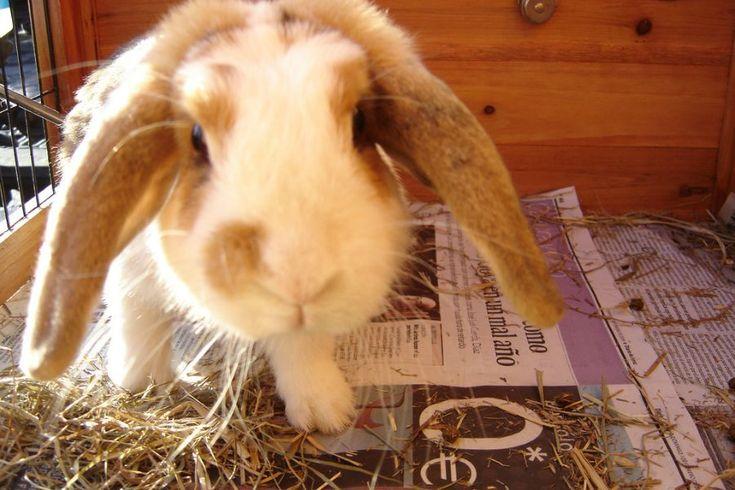 Belier o Conejo de orejas caídas: es el conejo más adorable del mundo!. Miden entre 35-40 cm y pesan entre 2,5-3 kg. Presenta una gran gama de colores. Son muy sociables y cariñosos, pero su gran tamaño determina la necesidad de un espacio mayor para no interferir en su bienestar y salud. Debido a su gran