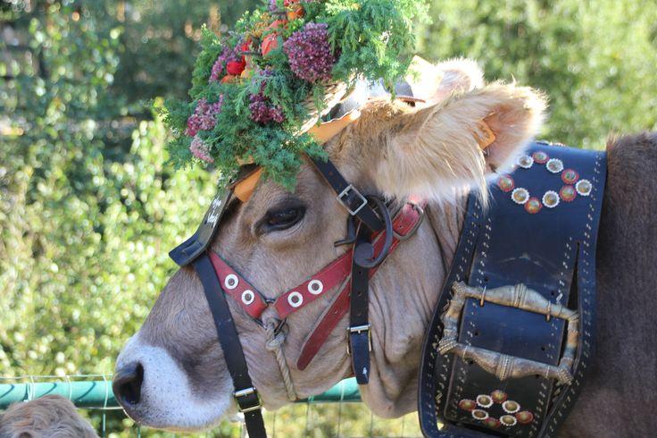#valdidentromountainfeast #VMF #Valdidentro #aldidelabronza #cow Dressed cow  PH. Loris Galli Graficando