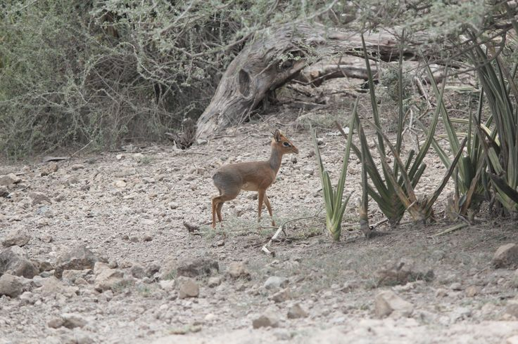 Madoqua kirkii the smallest species of antelope in Africa. Stood at 25cm. Photographed in the Serengeti Tanzania. [OC] [5184  3456]