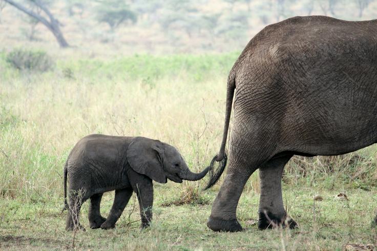 Elephants Animal Animals Calf: 17 Best Images About Elephants: Mother & Calf On Pinterest