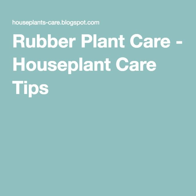 Rubber Plant Care - Houseplant Care Tips