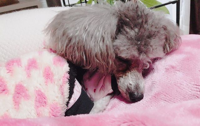 ココちゃん🐶 ココちゃんは久しぶりの投稿かな?😬 まだ寝てる😴 #犬#いぬ#🐶#わんこ#ワンコ#わんちゃん#愛犬#dog #animl#ココちゃん#久しぶり#いいね返し#投稿#まだ#寝てる