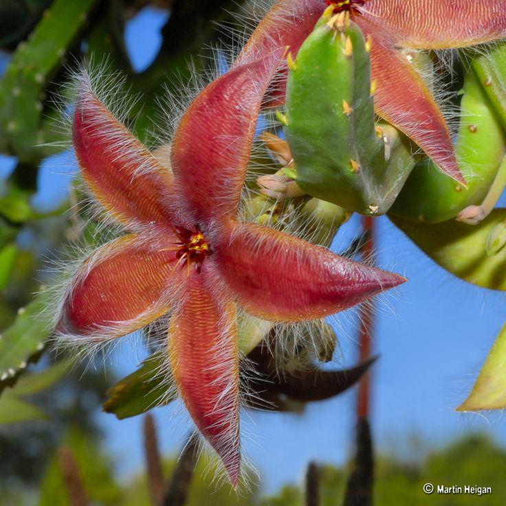 Stapelia hirsuta var. tsomoensis della famiglia delle Asclepiadacee