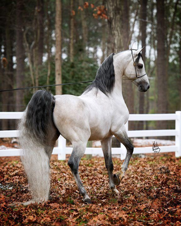 Arab horse inherent Appendix Extrusion is attached between the upper arm and forearm, and his position from behind when they relate. And desirable Astewaah, do not be skewed to the outside, not the inside