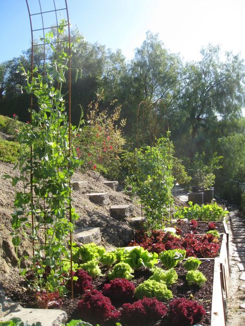 I created this hillside vegetable garden from an area that was once neglected and unused. All organic and delicious!  Sugar snap peas grow on the arbors, but later will be replaced with cucumbers!Click To Enlarge