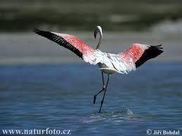 Flamingo vliegt weg