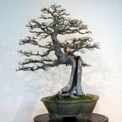 5 Chinese Elm, Lacebark Elm (Ulmus parvifolia) Bonsai Tree Seeds - Exotic Frost