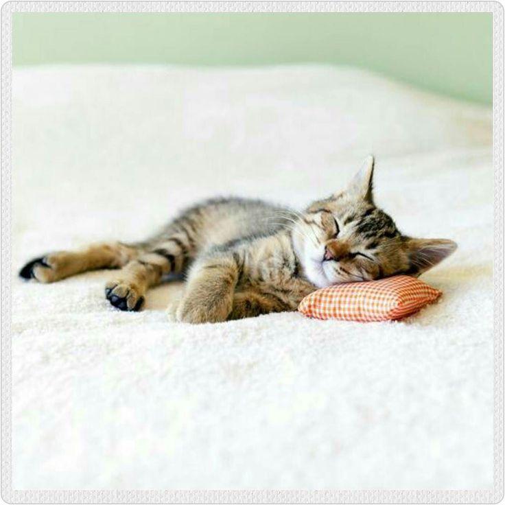 """amorgatuno: """"Aun siendo más introvertidos dicen que los amantes gatunos están más abiertos a nuevas experiencias en comparación con los amantes perrunos. #amorgatuno #mundogatuno #gato #gatos #amordegato #gatostagram #gatosdeinstagram #gatito #gatitos #gatico #kitten #minino #cat #cats #catsofinstagram #pet #miau #neko #felino #gatete #mascota #gatuno #cama #dormir"""""""