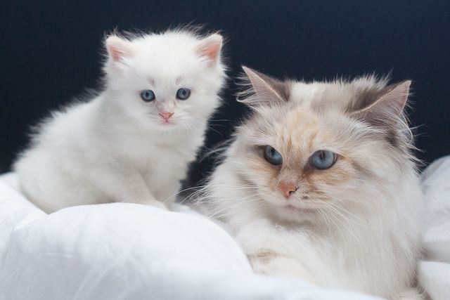kitten neva cream tabby with white with mom blue tortie bicolor