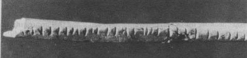 knowledgeequalsblackpower:  The Lebombo Bone, the oldest mathematical science tool (found in Border Cave in the Lebombo Mountains between South Africa and Swaziland). Too often do Western history books attribute mathematics to a European origin, which is simply not true. Many peoples around the world have contributed to mathematical sciences, however, chronologically, its origins are rooted in Africa.  In the 1970's during the excavations of Border Cave, a small piece of the fibula of a…