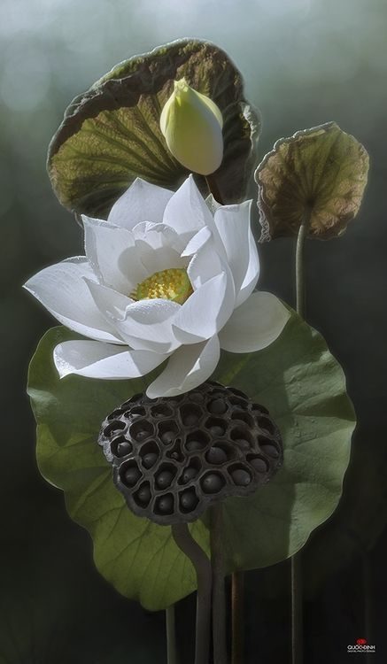 flowersgardenlove:  Lotus | Duong Quoc D Beautiful gorgeous pretty flowers