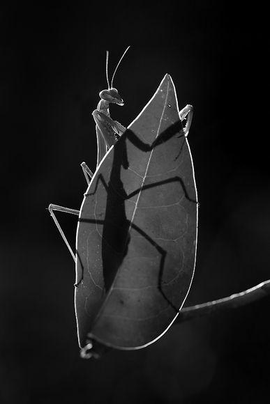 "Huy Tran,  ""Praying Mantis"" Nominee for Black And White Spider Awards - #Photography #BlackandWhite"