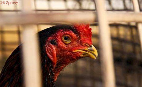 Veterináři našli šesté ohnisko ptačí chřipky. Na Táborsku utratili drůbež