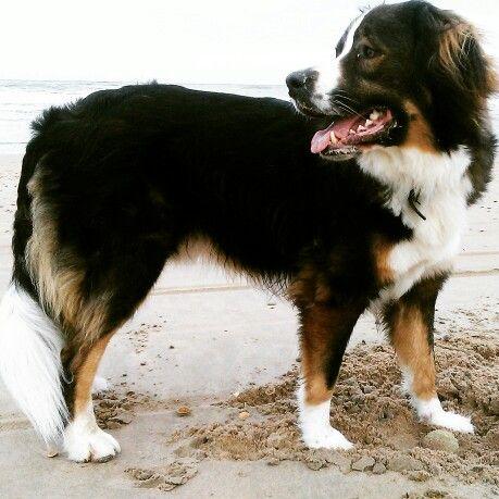 Dog @ beach #dog #koningbinc #animal #lovemydog #dogmodel
