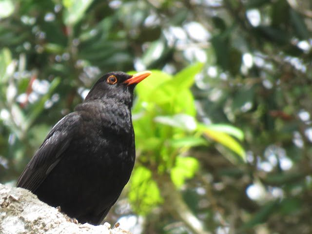 Bird Photos, Birding Sites, Bird Information: MALE EUROPEAN BLACKBIRD, MOUNT EDEN, AUCKLAND, NEW...