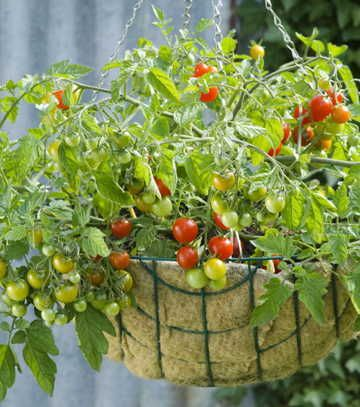 Cherry Tomatoes U0027Lizzano Growing In Hanging Basket   Image No: 0303692    GAP Gardens, Garden And Plant Stock Photography