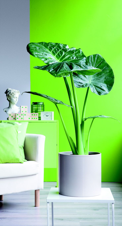 #Dépliant : Vous aimez les plantes vertes ? L'alocasia calidora devrait vous plaire ! #TRUFFAUT