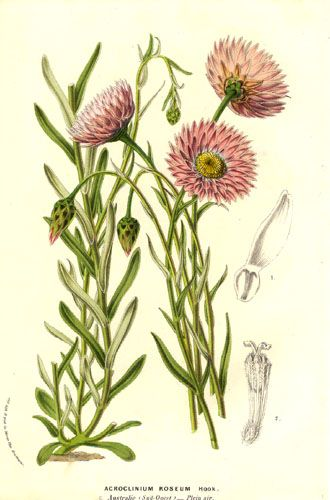Helipterum roseum. A genus of sun loving daisies from South Africa and Australia