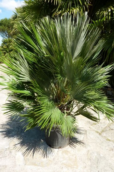 � palmier aux belles feuilles en éventail compact multi-tronc��� prix 145 € rustique-12/14°c, c'est un beau palmier,facile d'entre...