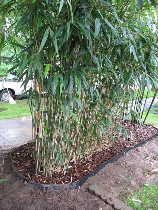 Best 25 Bamboo Garden Ideas On Pinterest Bamboo Screening - bamboo plants garden design