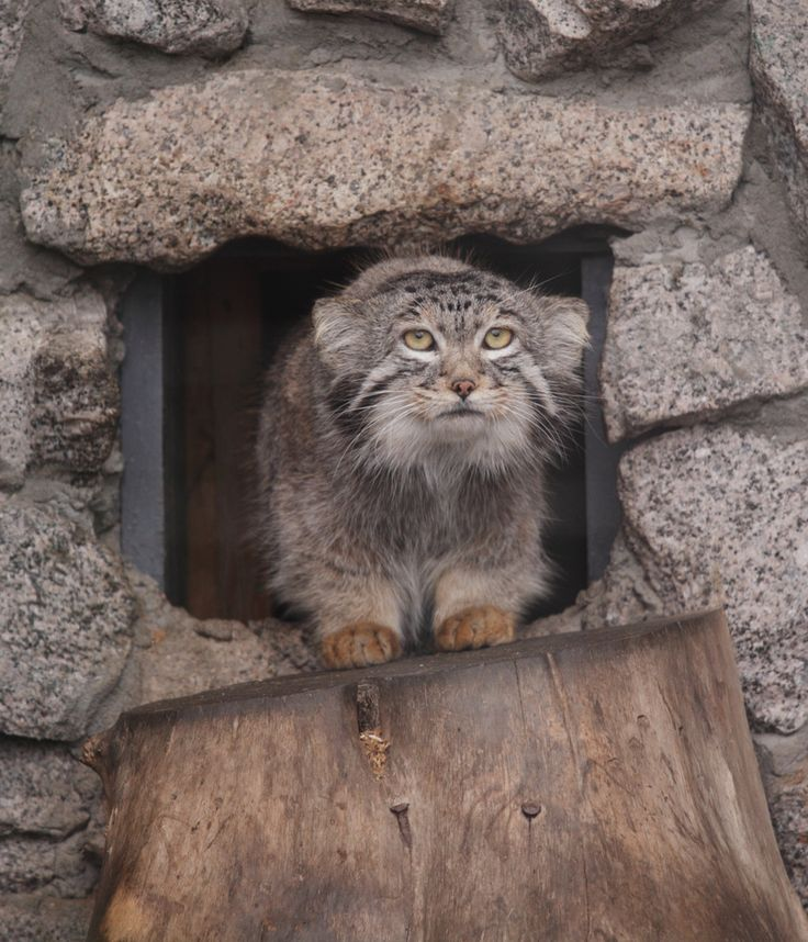 Coming out of his house in the morning #pallascat www.boneandyarn.com