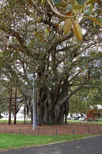 Old Albert - Moreton Bay Fig Tree planted in 1883, Devonport, NZ