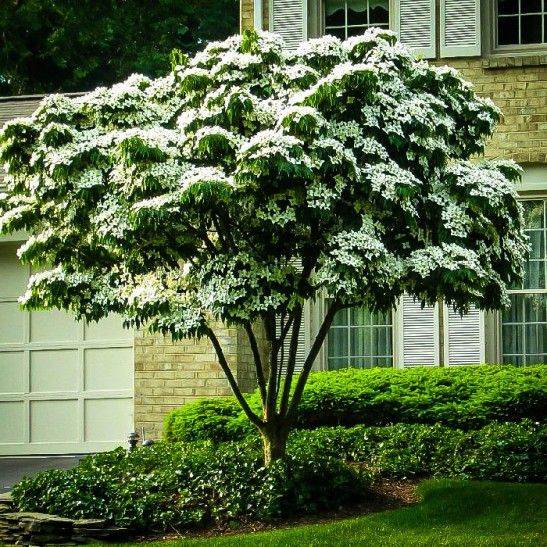The Kousa Dogwood (Cornus kousa chinesis) is a deciduous tree with a specialized leaf system (bract), that creates a showy white appearance throughout the summer. Description from pinterest.com. I searched for this on bing.com/images