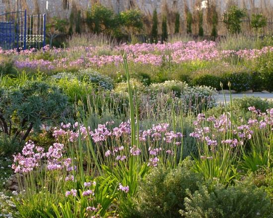 Italian Garden Design, with mostly SA plants: tulbaghia, felicias, westringia (aussie) and