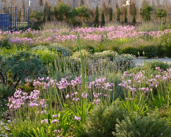 Italian garden design with mostly sa plants tulbaghia for Italian garden design