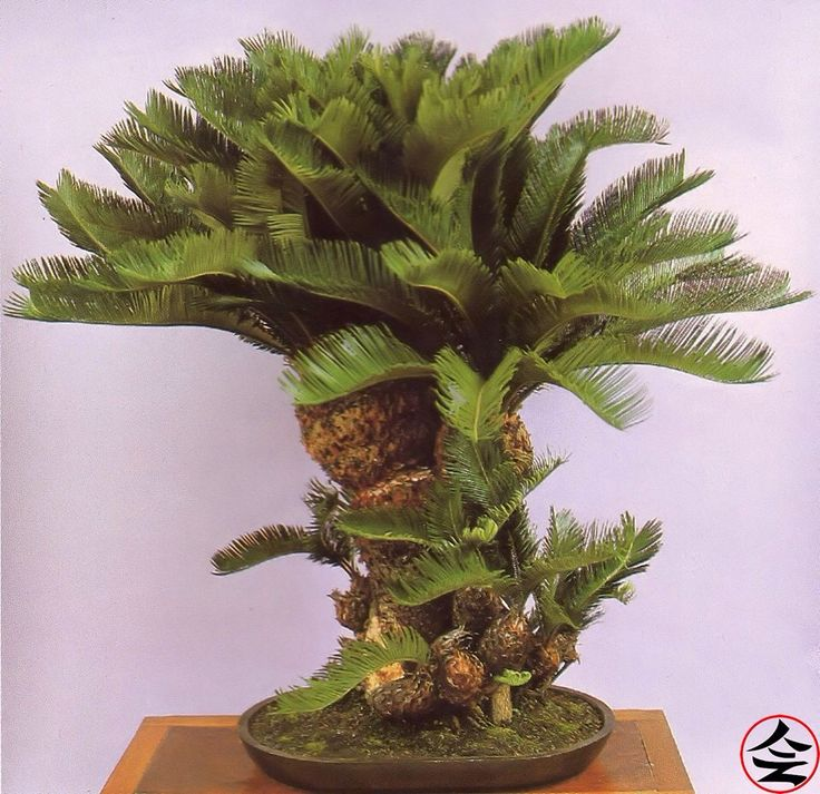 Who would have thought that a palm tree would have made such an intriguing bonsai?