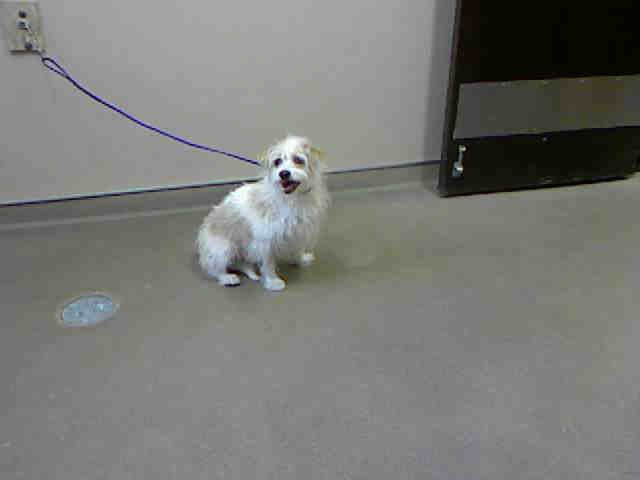 ARTEMIS-ID#A728466  My name is ARTEMIS.  I am a neutered male, white and tan Jack russell.  The shelter staff think I am about 1 year and 8 months old.  I have been at the shelter since Jul 16, 2013.